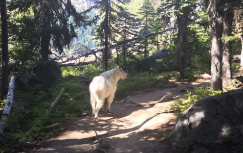 Weekly Lists: Five marvelous mountain goat facts